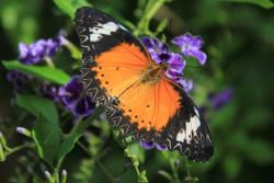 Coral Bay officials are happy to bring the butterfly attraction back to life.