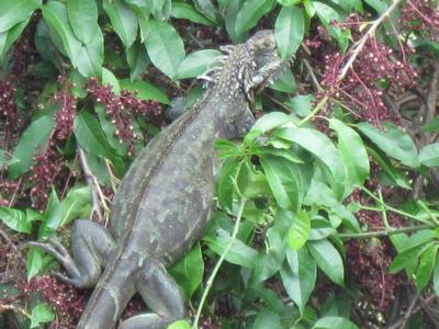 An iguana climbs a tree at Ajax Peak.
