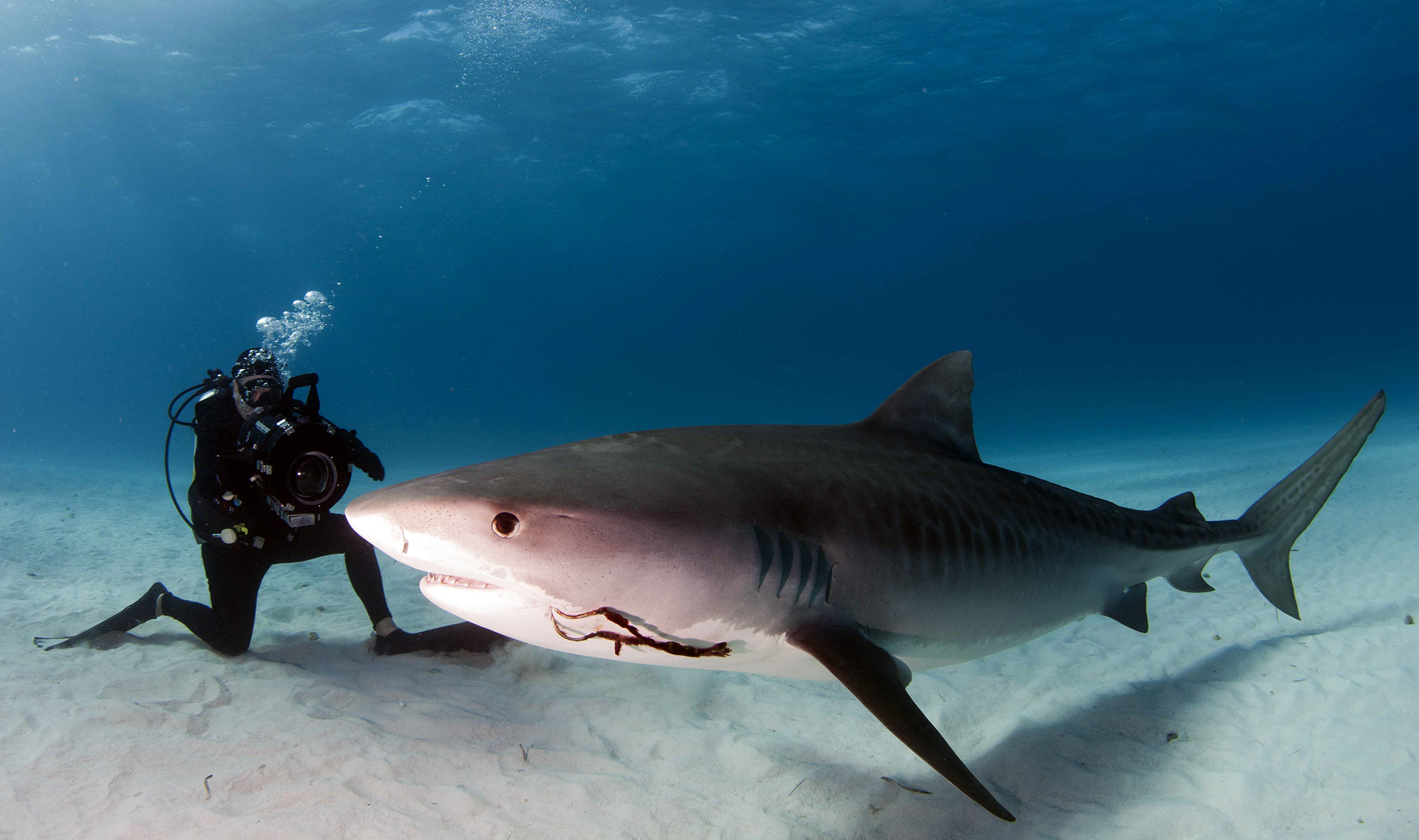 Underwater filmmaker Paul Cater Deaton films a 12-foot tiger shark during the production of his film 'Showdown at 'Tiger Beach.' (Photo by Chris Mazingo)