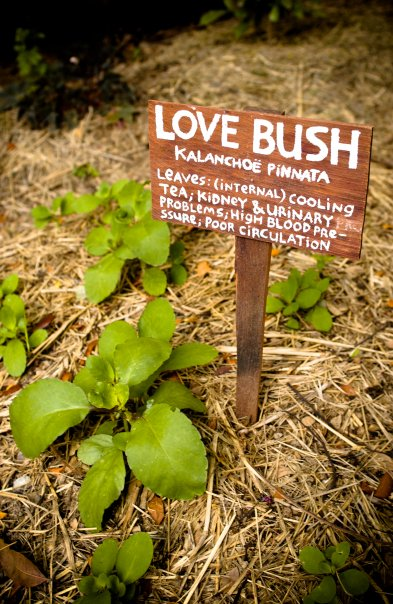 Love Bush is one of the more exotic items grown on the farm (Photo courtesy Ridge to Reef Farm).