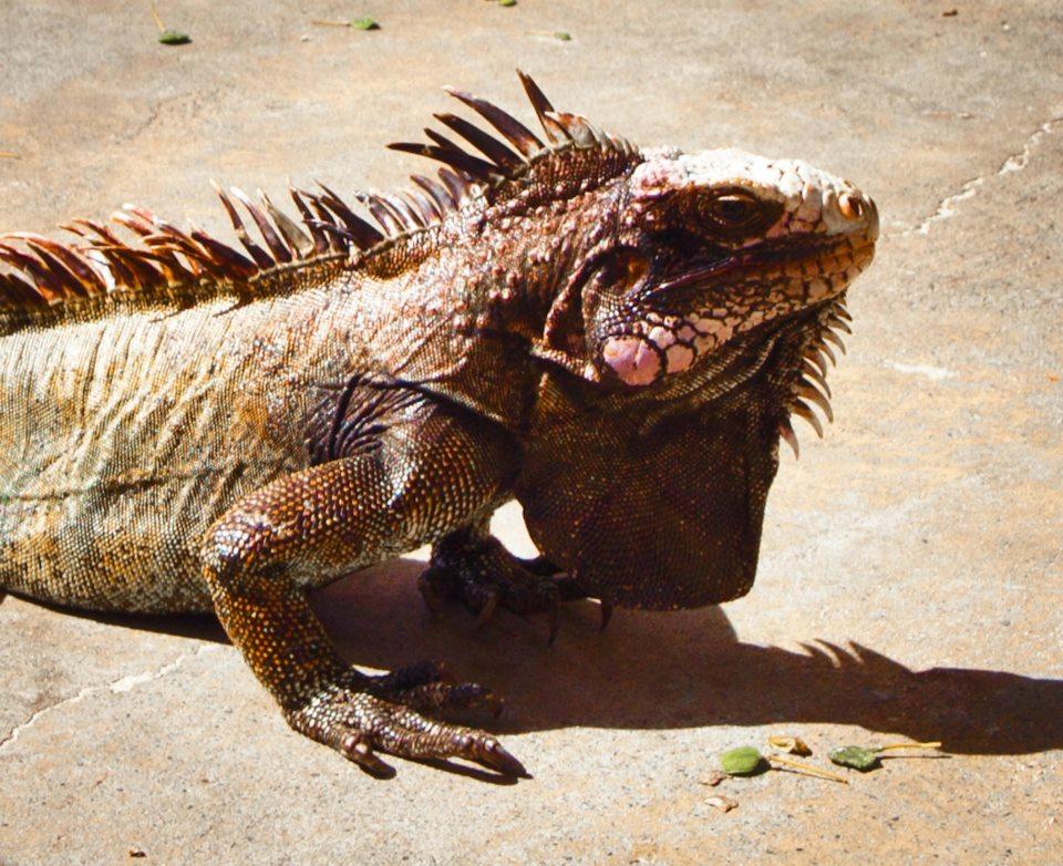 Bold iguana (Gabriel Padilha photo).