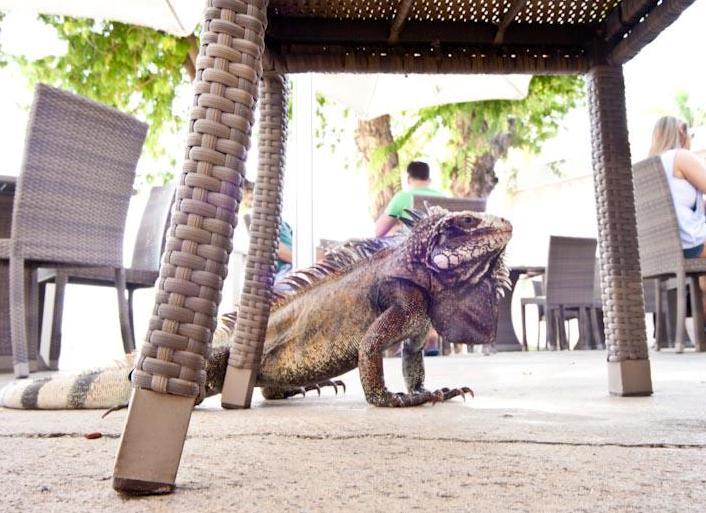 Do not feed the iguanas (Gabriel Padilha photo).