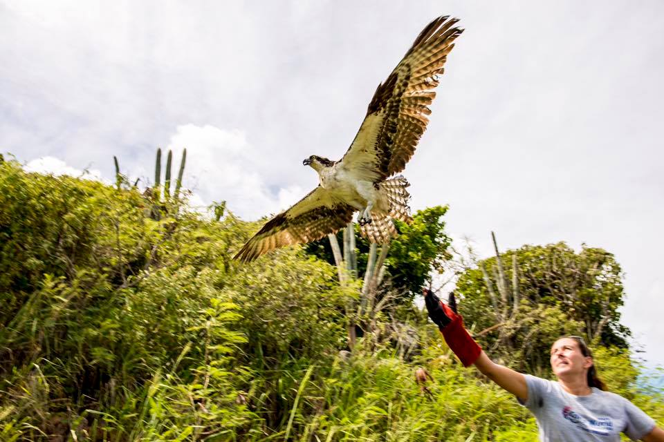 Erica Palmer releases rescued osprey (photo --  Harout Yerganian)