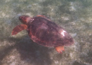 A juvenile loggerhead turtle swims in Brewers Bay. (Photo provided by John Cassel)