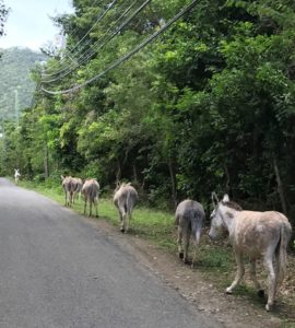 Friendly donkeys line the road in 2017. (File photo)