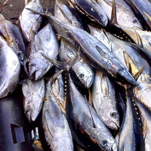 Photo caption 1: Tuna are sold from the back of a commercial fishers truck on St. Thomas.