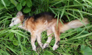 This dog was found dead alongside the road Sunday morning. V.I. law imposes some obligations on drivers who strike an animal, but that law is not enforced.
