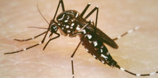 The Aedes aegypti mosquito can carry the Zika or the dengue virus. (Yale University School of Public Health photo)