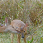 A does nuzzles her fawn. (Amy Roberts photo)