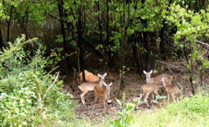 Deer graze near black mangroves. (Photo by Gail Karlsson)