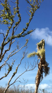 Damaged trees on the North Shore.