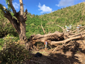 Part of a historic tamarind tree is down on St. John's east end.