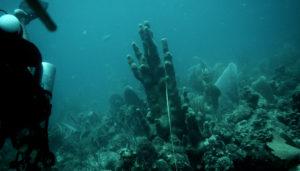 Heathy Pillar Coral in 2016. (Jeff Miller photo)