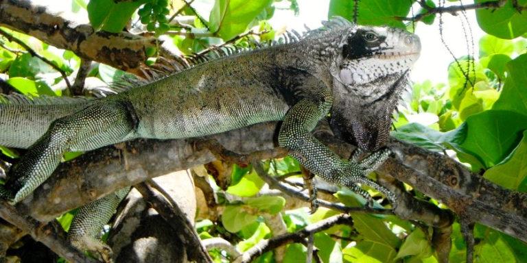 Study Suggests  Iguana is Not Quite 'Indigenous,'  Not Quite 'Invasive'