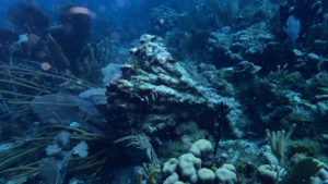 Coral lies toppled y the power of Hurricanes Irma and Maria. (Photo by Jeff Miller)