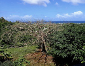A leafless flamboyant tree on St. Croix. (Susan Ellis photo)