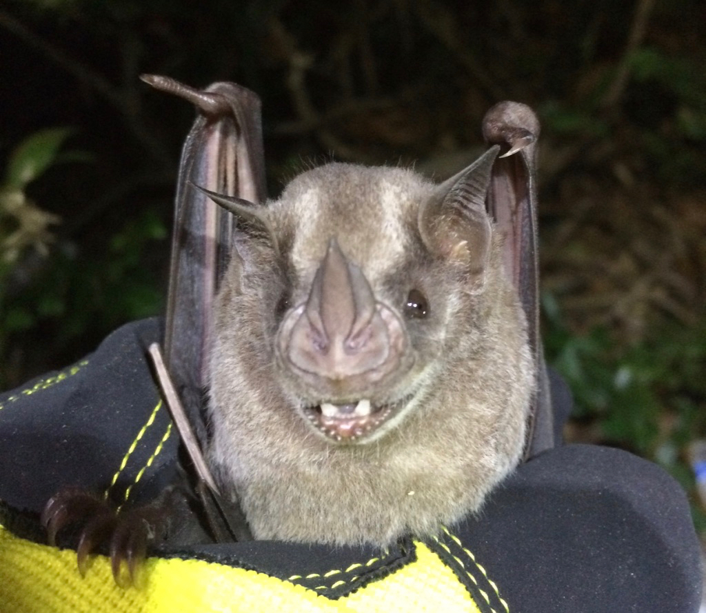 This Jamaican Fruit Bat Artibeus Jamaicensis Was Spotted Last Week On St Thomas