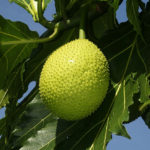 Originally from the South Pacific, breadfruit is ubiquitous in the tropics around the world. (Photo from Wikipedia)