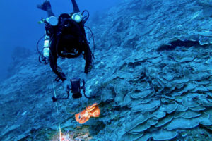 Coral researcher Viktor Brandtneris films a deep coral transect at 219 feet on the South Drop of St. Thomas. Almost all of the coral to the right of the diver and behind him is alive and healthy. (Photo by Tyler B. Smith)