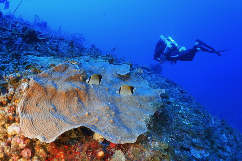 UVI professor Tyler B. Smith examines coral on a research dive at 220 feet on the South Drop of St. Thomas. Lamarck's sheet coral and two reef butterflyfish are in the foreground. (Photo by Viktor W. Brandtneris)