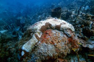 A large brain coral displays classic effects of Stony Coral Tissue Loss Disease.