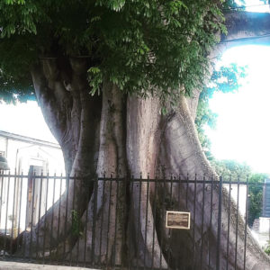The Frederiksted kapok tree.