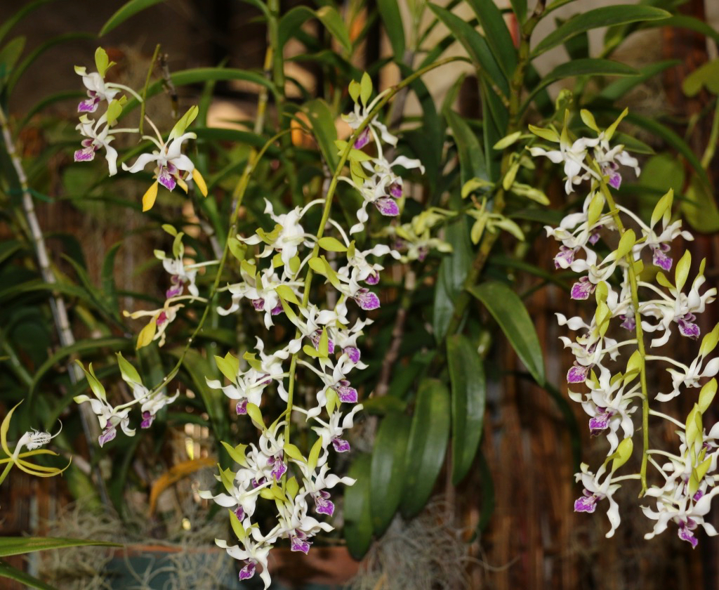 The President's Award was presented to Iliana Hannah for a beautiful hybrid Dendrobium. (Linda Morland photo)