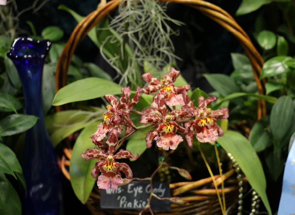 Wilsonara Eye Candy 'Pinkie' tucked into a basket is picture perfect. (Linda Morland photo)