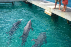 Three of the four dolphins recently arrived at Coral World check out their new surroundings. (April Knight photo)