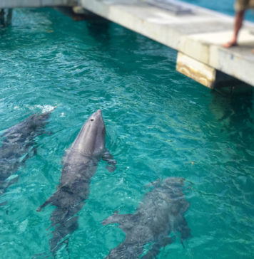 File photo shows three of Coral World's original four dolphins checking out their new surroundings in February. (April Knight photo)