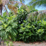 It takes at least three years for a breadfruit tree to begin to bear fruit. This large tree flanked by smaller one and palms is more than ready. (Linda Morland photo)