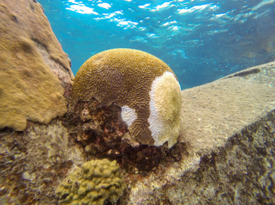 UVI Leading Fight Against Coral Disease