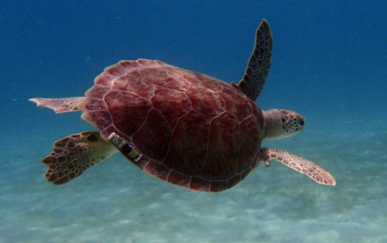 UVI Research Shows Sea Turtles Returned After Hurricanes