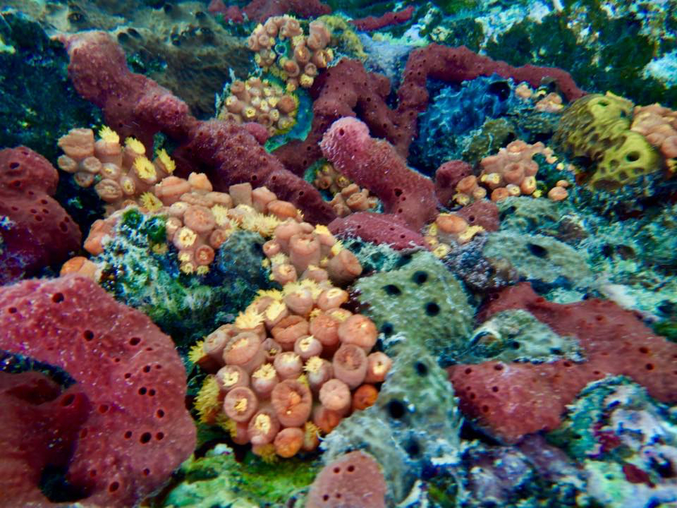 Heallthy sponges and corals grow below a ledge amid devastation from Hurricane Irma. (Photo by Mike Anderson)