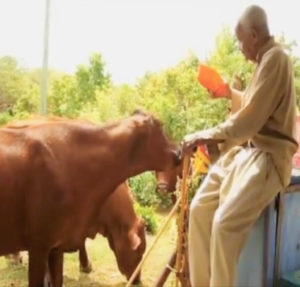 Johnnie Tranberg feeds a mango to his cow. (Submitted family photo)