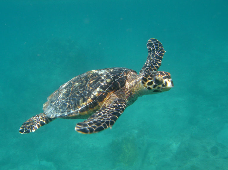 Two Years After Irma: Turtle Populations Prove Resilient