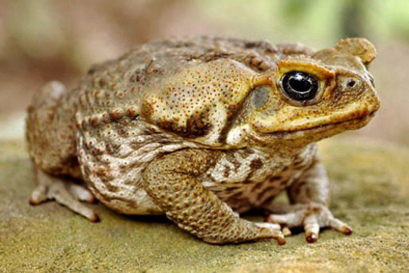The highly toxic Cane Toad. (Photo from National Geographic.)