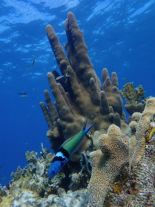 Healthy coral reef at Cow Rock, St. Thomas. (Source photo by Dave MacVean)