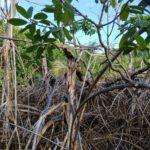 Mangroves mangled hull bay