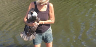 Bird rehabilitator Toni Lance carries a wounded pelican from a pond on the south shore. (Photo from Facebook)