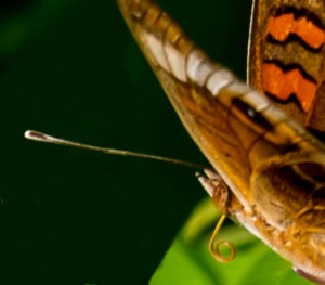 A Caribbean Buckeye butterfly showing its curled proboscis and clubbed antenna. (Photos by Gail Karlsson) (Source photo by Gail Karlsson)