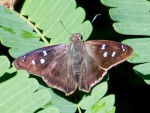 The Hammock Skipper butterfly. (Photo by Gail Karlsson)