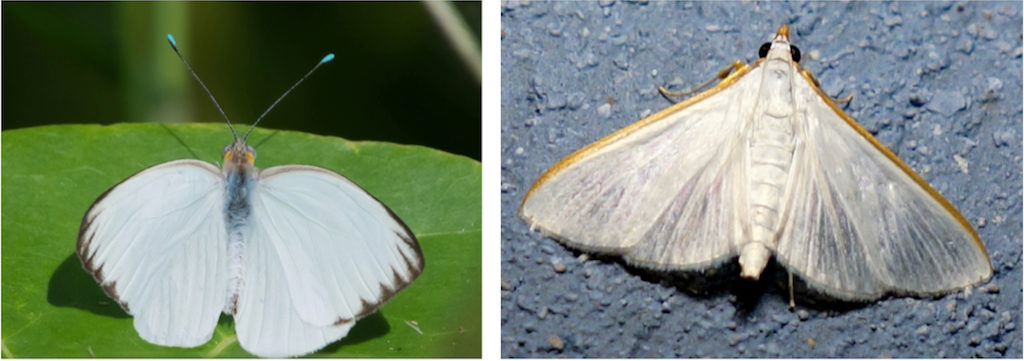 The Great Southern White butterfly, left, and the Snowy Urola moth. (Photos by Gail Karlsson)