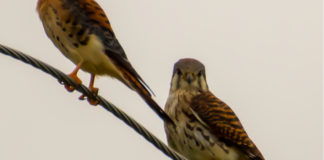 American kestrels perch on poles and wires to watch for prey. (Source photo by Gail Karlsson)