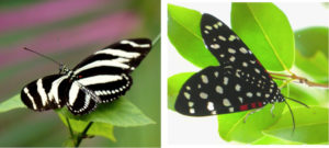 A Zebra Longwing butterfly, left, and the Composia credula moth. (Photos by Gail Karlsson)