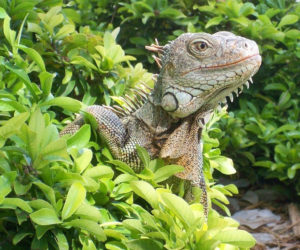 Source mascot Idle the Iguana peers out of the brush. (Source photo)