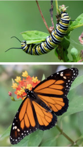 The Monarch Butterfly caterpillar, above, transforms into the beauty of the Monarch Butterfly. (Photos by Gail Karlsson)
