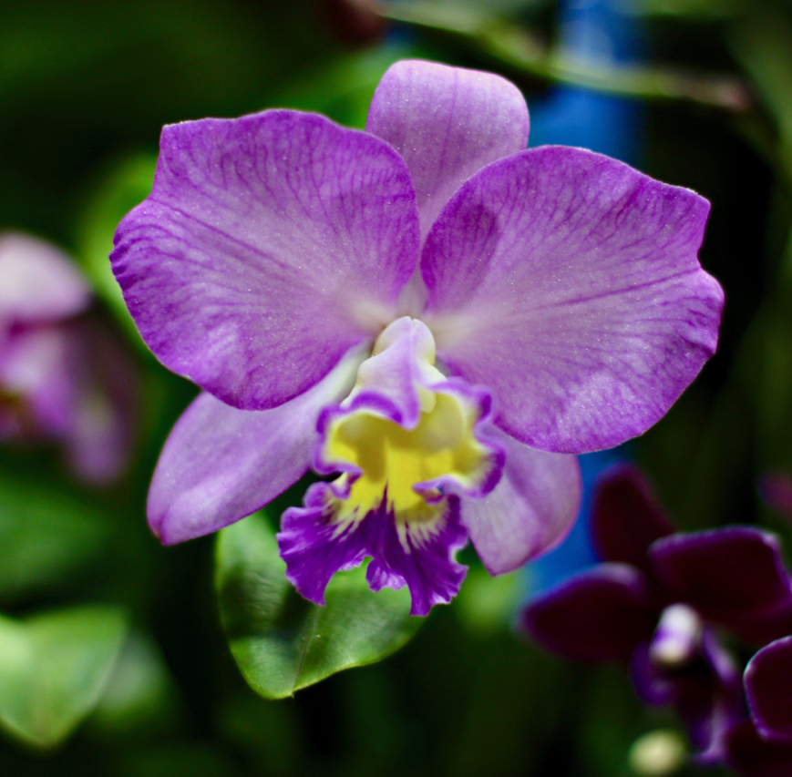 """Phalaennopis or """"Moth Orchids"""" are found in a wide variety of sizes and colors. Popular for decorating, these grow well on St. Croix. This close up shows the wonderful colors and delicacy of a single bloom. (Source photo by Linda Morland)"""