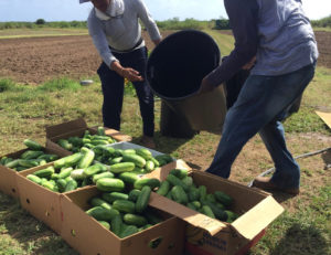 Boxes are being filled with cucumbers for schools on St. Croix by VIFA members Philip Titre and Leroy Peets. (Photo submitted by VIFA President Nate Olive)