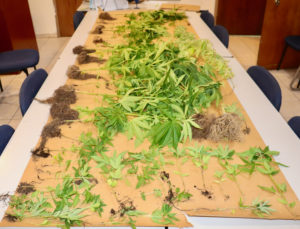 A portion of the marijuana plants confiscated Wednesday from a location in Hospital Ground. (VIPD photo)